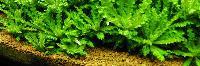 Aquatic Aquarium Plants