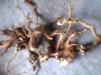 Taggri Root