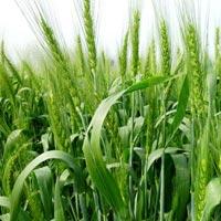 High Zinc Wheat Seed