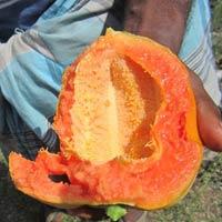 Red Lady Papaya