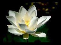 White Lotus Plant