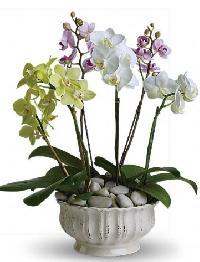 Regal Orchids Plant