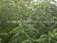Fresh Curry Leaves Exporter