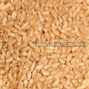 Wheat Seeds Supplier In India