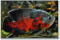 Red Tiger Oscar Fish