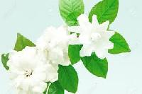 Jasmine Perfume