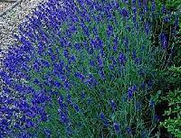 Lavender Blue Fragrance