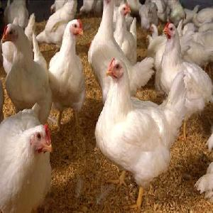 Poultry Feed Grade Soya Lecithin Oil