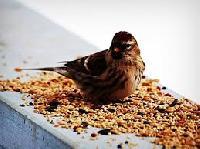 Aviary Birds Wild Seeds