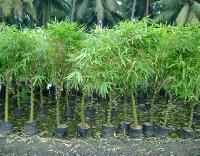 Buddha Valley Bamboo Plants