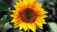 Krithika 321 Hybrid Sunflower Seeds