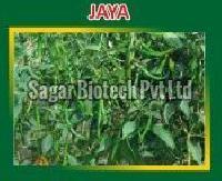 Jaya Hybrid Green Chilli Seeds