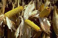 Penna-405+ Hybrid Maize Seeds