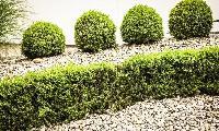 Shrub Plant