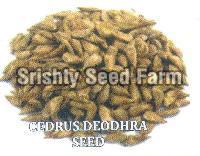 Cedrus Deodhra Seeds