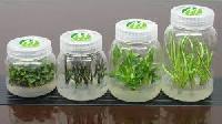Strawberry Tissue Culture Plants