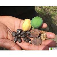 Jatropha & Pongamia Seeds