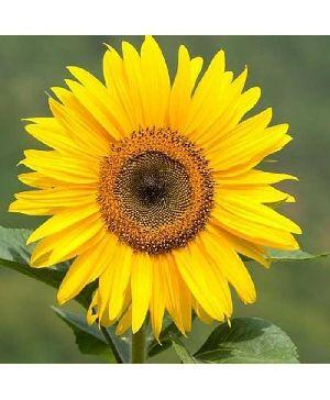 Hellianthus (sunflower) Sunset
