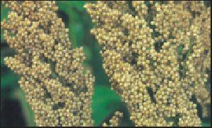 Grain Sorghum Field Seed