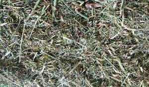 Dried Kalmegh Leaves