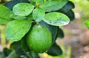 Tissue Culture Lemon Plant