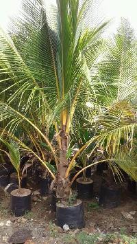 Coconut Highbrid