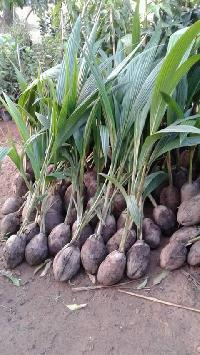 Coconut Verity Of Assam