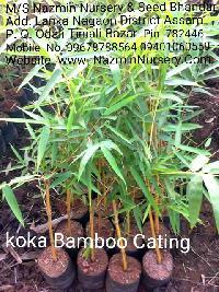 Koka Bamboo Plant
