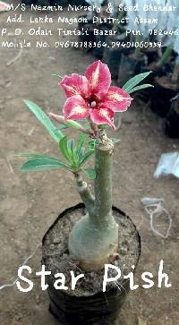 Star Pish Flowers