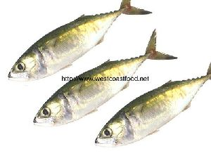 Fresh Indian Mackerel Fish