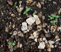 Ashwagandha Plant Seed