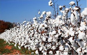 Cotton Seed Plant