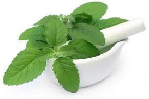 Basil / Tulsi Powder Manufacturer,exporters,supplier India