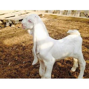 Ajmeri Goat Wholesale Suppliers in Madhya Pradesh India by