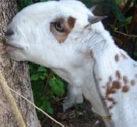Jamunapari Hansa Goat