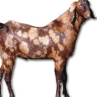 Sirohi Goat
