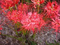 Lycoris Flower Bulbs