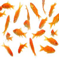 Gold Fish Seed
