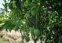 Ratnagiri Hapus Mango