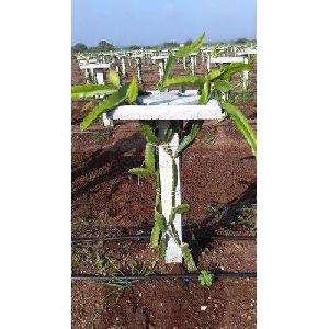 White Flesh Dragon Fruit Plant