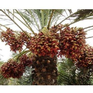 Date Palm Plant