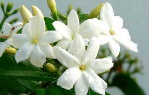 Fresh Cut Jasmine Flowers