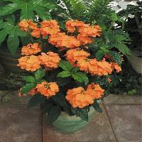 Aboli Indoor Plant