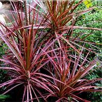 Dracaena margintana Outdoor Plant