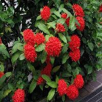 Ixora Red Mini Indoor Plant