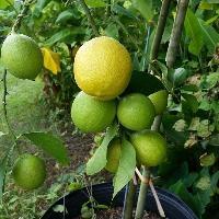 Lemon Fruits Plant