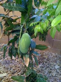Mango Fruits Plant