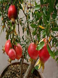 Pomegranate Fruits Plant