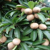 Sapodilla Fruits Plant