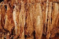 Raw Tobacco Leaves